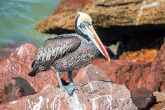 Brown Pelican in Peru Royalty Free Stock Photos