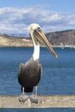 Brown Pelican on a pier Stock Photos