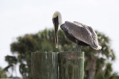 Brown Pelican on Pier Royalty Free Stock Image