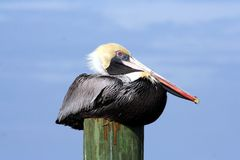 Brown Pelican on piling. Stock Photography