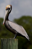 Brown Pelican Poling on a Piling Royalty Free Stock Image