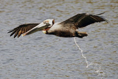 Brown Pelican pooping Stock Photography