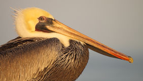 Brown Pelican Portrait. A portrait of a Brown Pelican along the ocean Royalty Free Stock Photos