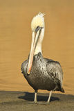 Brown Pelican Portrait. Brown pelican resting on a beach in Point Reyes National Seashore, California Stock Photos