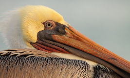 Brown Pelican Portrait. A close portrait of a Brown Pelican along the coast of the Pacific Ocean in southern California Royalty Free Stock Photos