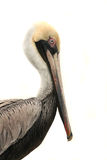 Brown Pelican Portrait Isolated on White Royalty Free Stock Photo