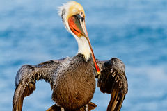 Brown Pelican Posing Stock Photos