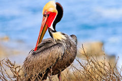 Brown Pelican Posing Royalty Free Stock Images