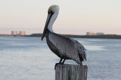 A Brown Pelican on a Post Stock Photos