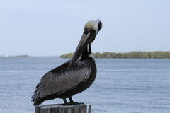 Brown Pelican on a Post Royalty Free Stock Photo