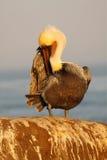 Brown Pelican Preening Royalty Free Stock Image