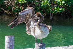 Brown Pelican preening feathers stock images