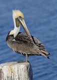 Brown Pelican Preening its Feathers on a Post - Florida Royalty Free Stock Photos