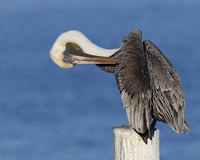Brown Pelican Preening its Feathers on a Post - Florida Royalty Free Stock Image