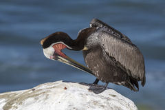 Brown Pelican preening its feathers on a rock overlooking the Pa Stock Photo