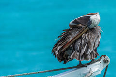 Brown pelican preening itself on ship winch Royalty Free Stock Photos