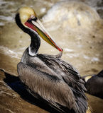 Brown Pelican Preening, La Jolla California Royalty Free Stock Photography
