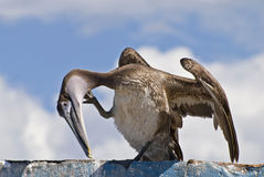 Brown Pelican Preening On A Roof Top Royalty Free Stock Photography