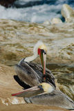 Brown Pelican Preening. One pelican preens its feathers while another stands by Royalty Free Stock Images