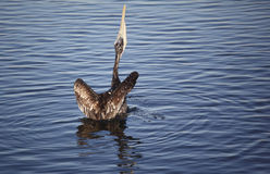 Brown Pelican, Rearview Stock Photo