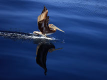 Brown Pelican Reflection Royalty Free Stock Image