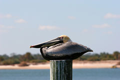 Brown Pelican Resting. Brown Pelican Sitting on a Pier Post Stock Image
