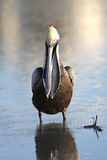 Brown Pelican Revealing a Fish in its Pouch Stock Photo