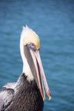 Brown pelican Stock Photo