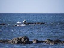 Brown pelican on a rock Stock Photos