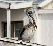 Brown pelican on rooftop Royalty Free Stock Photo