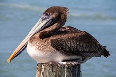 Brown Pelican Roosting Upon Dock Piling Royalty Free Stock Photos
