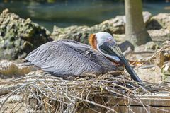 Brown Pelican Roosting On Nest. A Brown pelican is roosting on its ground nest royalty free stock images