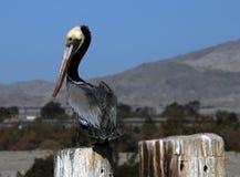 Brown Pelican at Salton Sea Stock Images