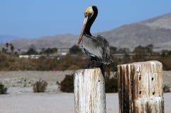 Brown Pelican at Salton Sea Royalty Free Stock Image