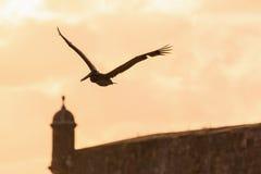 Brown Pelican San Juan. Brown Pelican Pelecanus occidentalis in the sky at sunset in San Juan, Puerto Rico royalty free stock photo
