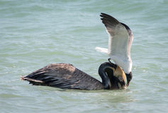 Brown pelican and sandwich tern Royalty Free Stock Photography