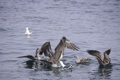 Brown pelican and seagull festing Stock Photo