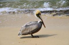 Brown pelican on seashore Stock Photo