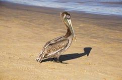 Brown Pelican on seashore Royalty Free Stock Images