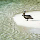 Brown Pelican in a semi-circle of sea and sand Stock Images
