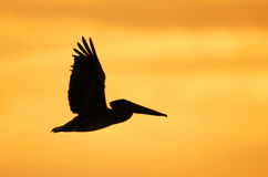 Brown Pelican Silhouette Royalty Free Stock Photography