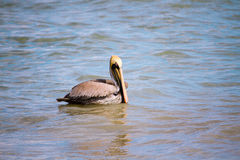 Brown Pelican sitting in Gulf of Mexico Royalty Free Stock Images