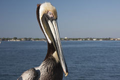 Brown pelican sitting Stock Photography
