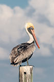 Brown Pelican. Sitting on pylon Stock Photography