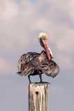 Brown Pelican. Sitting on pylon drying his feathers Royalty Free Stock Image