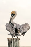 Brown Pelican. Sitting on pylon with wings spread Stock Photography