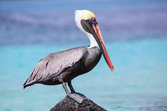 Brown pelican sitting on a rock at Suarez point, Espanola Island, Galapagos National park, Ecuador. Brown pelican (Pelecanus occidentalis) sitting on a stock photography