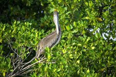 Brown pelican sitting on the tree Royalty Free Stock Photos