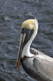 Brown Pelican. The Brown Pelican is the smallest of the eight species of pelican, although it is a large bird in nearly every other regard. It lives strictly on Stock Photo
