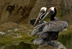 Brown Pelican. The Brown Pelican is the smallest of the eight species of pelicans, although it is a large bird in nearly every other regard. It is 42-54 inches Royalty Free Stock Images